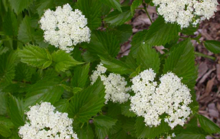 White Viburnum Flower
